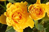 Fresh Yellow Rose