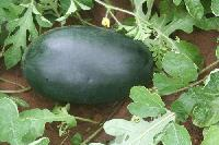 Only watermelon seed