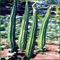 Ridge Gourd Seed
