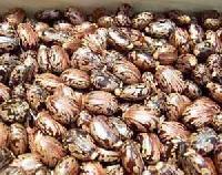 Castor Seeds - 01