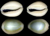 Opal Cowrie Shells