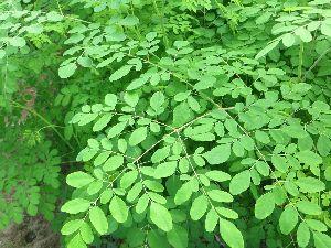 Moringa Leaf