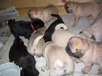 Puppy Pugs Dogs