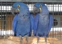 Buy Hyacinth macaw,military and great green macaw adults and