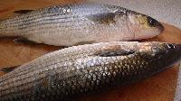 Silver Mullet Fish