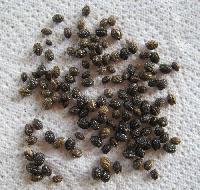 Honey Dew Papaya Seed