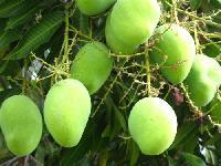 Alphenso Mangoplant