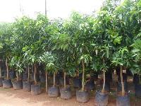 Alstonia Scholaris Plant