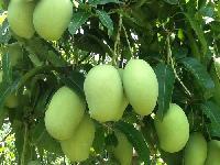 Chinnarasallu Mango Plant