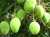 Golam Gova Mango Plant