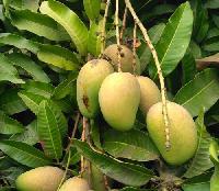 Hyder Saheb Mango Plant