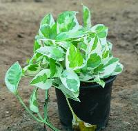 Money Plant White
