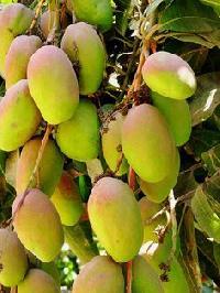 Paparaju Gova Mango Plant
