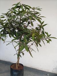Punasa Mango Plant