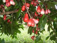 Water Apple Plant