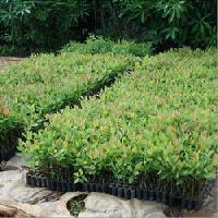 Eucalyptus Clone No3