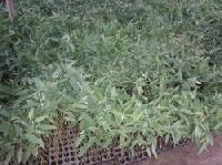 Eucalyptus Clone No316