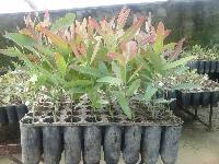 Eucalyptus Clone No7