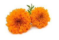 Fresh Orange Marigold Flowers