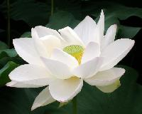 Fresh White Lotus Flowers