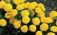 Fresh Yellow Marigold Flowers