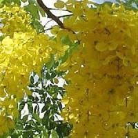 Cassia Fistula Flowers