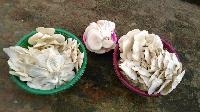 Mushroom White Oyster
