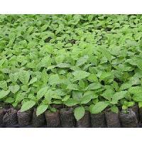 Sagwan Plant