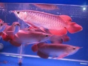 Red Arowana Fish