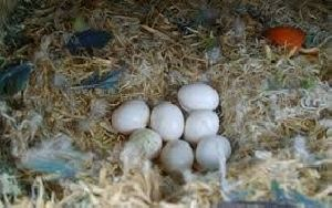 Fresh Fertile Parrot Eggs