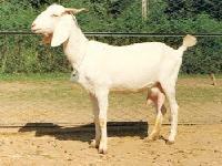 Surti Goat