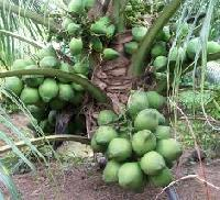 Coconut Fruit Plant