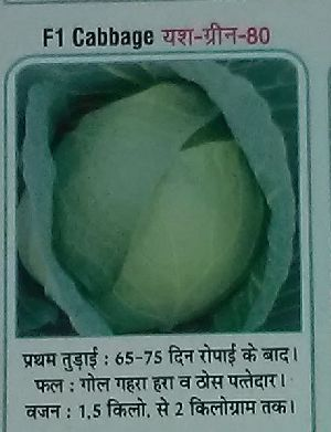 F1 Yash-Green-80 Fresh Cabbage seed