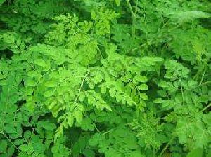 Moringa Fresh & Dry Leaves
