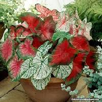 Caladium Flower Bulbs