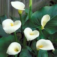 Calla Lily Flower Bulbs