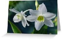 Eucharis Lily Flower Bulbs