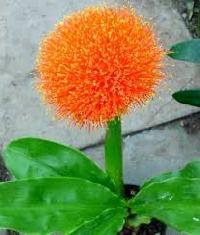 Football Lily Flower Bulbs