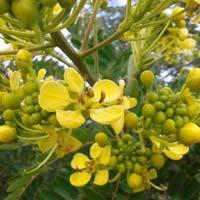 Cassia Siamia Plants