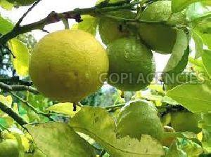 Fresh Bergamot Orange