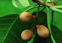 Medicinal Herb Bibhitaki