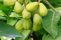Medicinal Herb Haritaki