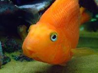 Orange Parrot Fish