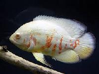 White Oscar Fish