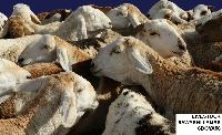 Live Sawakni Lambs