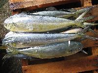 Frozen Mahi Mahi Fish