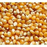 Hybrid Maize Seeds