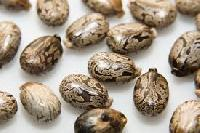 Castor Oil Seed/ Beans
