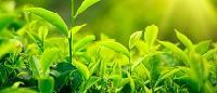 40% Green Tea Extract