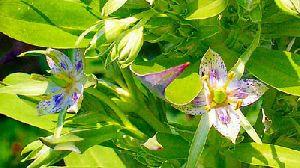 Chiretta Plant